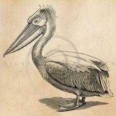 Vintage Pelican Bird Illustration Printable Birds 1800s Antique Print Instant Download Digital Image Clip Art Retro Black and White Drawing