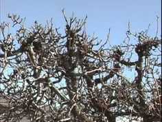 Here is a short video we did at the farm for the Utah Fruit and Vegetable Association that provides some of the basics of pruning fruit trees.