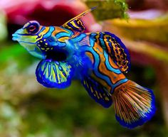 Mandarinfish...when seeing creatures such as this...I'm amazed that there really are atheists and agnostics!!!