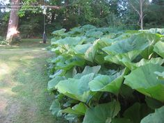 Full size picture of Giant Japanese Butterbur, Sweet Coltsfoot, Fuki (Petasites japonicus var. giganteus) -- warning: slug food, otherwise superb tropical looking plant.  Hardy to zone 5