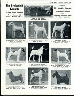 SMOOTH FOX TERRIER OUR DOGS VINTAGE 1947 DOG BREED KENNEL ADVERT PRINT PAGE