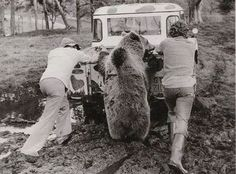 Just a bear pushing a landy out the mud