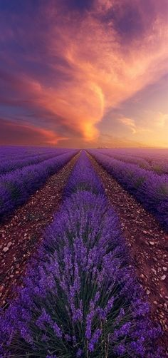 'Golden Hour' Lavender, Valensole, Provence, France by Alexandre Ehrhard