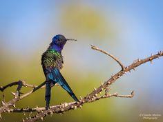 Cristofer Martins posted a photo:  Beija-flor-tesoura (Eupetomena macroura).  Crystal Plaza. Distrito Federal, Brazil.  Animal in wildlife.