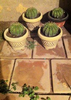 Ecchinocactus multiplex. 4