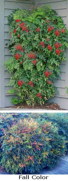 Heavenly Bamboo Nandina (Nandina domestica).  Height 6'-8', Spread 4'-6'.  zone6-9.  Sun to Partial Shade.  Blooms late spring to early summer.