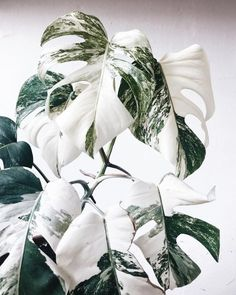 Monstera Deliciosa plants are stunning in full green but how gorgeous are they when they're White Albo Variegated? Plantas Indoor, Variegated Plants, Plant Aesthetic, Plant Wallpaper, Decoration Plante, Best Indoor Plants, Plants Are Friends, Indoor Flowers, Unique Plants