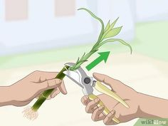 How to Propagate Lucky Bamboo: 14 Steps (with Pictures) - wikiHow Indoor Bamboo Plant, Bamboo Plant Care, Lucky Bamboo Plants, Bamboo Planter, Bamboo Garden, Indoor Trees, Indoor Flowers, Big Plants, Exotic Plants