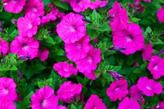 Petunias are all time favorite annual.  Easy to grow and attracts hummingbirds.