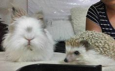 Is it a new roommate? Thanks God, just a guest. #fluffy #bunny #hedgehog #petfriendship #firstmeet