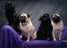 THE ROYALTY OF PUGS