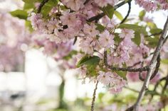The Last of the Cherry Blossoms