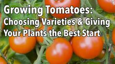What Are The Best Tomato Varieties for Your Climate. Find out what each variety is best for, it's resistance towards disease and what recipe suits it it best. This is the encyclopedia of Tomato gardening all in one easy to watch video. THIS IS A MUST SEE!