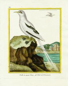 Martinet c1770's: Paille-en-queue blanc de l'ile de l'Ascension. White-tailed Tropicbird