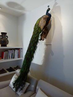 Stunning Taxidermy Peacock c.2009
