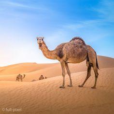 Camel #camel #photography #sunset #travel #nature #picoftheday #beautiful #photooftheday #instagood #sun #photo #beach #photography #sky #amazing