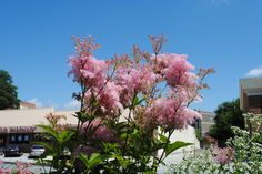 Close-up of pink Queen-of-the-Prairie, Filipendula rubra, in late June 2013 in the little garden