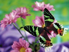 MACRO  wallpaper  | vrije vlinder macro wallpaper, HD wallpapers, Gratis achtergronden