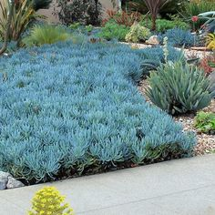 """A cool wave of Senecio mandraliscae """"Blue Chalk Sticks"""" flows over this front yard joined by aloes, aeoniums and other succulents and xeriscape plants. Succulent Landscaping, Landscaping Plants, Front Yard Landscaping, Landscaping Ideas, Xeriscape Plants, Types Of Succulents, Succulents Garden, Succulent Rock Garden, Blue Succulents"""
