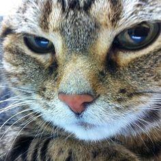 ***Sad day*** • • my lovely cat who named MARON, suddenly passed away this morning 😢 she became 14 years old yesterday✨ I still can't believe it.... • • 14歳になったばかりの愛猫まろんが今朝亡くなりました。 涙が出るばかりで14年間お世話になった院長先生にも獣医長の先生にもご挨拶が出来なかった。言葉を発せなかった… 早朝に緊急入院し1週間がヤマ場で様子見だったけど、体調が急変。肺に水が溜まり、そして血栓が飛んでしまったのが原因だったようです。病院から引きあげた直後だったから誰もその時間に肺に間に合いませんでした… 悲しいな〜私が一目惚れした猫だったから😭 • • #cat #lovelycat #mypet #pet #passedaway #americanshorthair #ねこ #猫 #愛猫 #アメショー #アメショ #14さい
