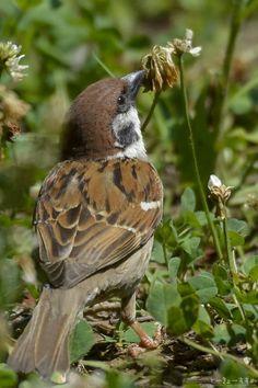 #domesticus #oldworld #sparrow #passer #housePasser domesticus | House Sparrow | Old-world sparrow Cute Birds, Small Birds, Little Birds, House Sparrow, Sparrow Bird, Animals And Pets, Cute Animals, Brown Bird, All Nature