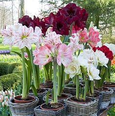 Amaryllis at Brabourne Farm. Garden Bulbs, Garden Plants, House Plants, Topiary Garden, Love Flowers, Beautiful Flowers, Beautiful Things, Plants Under Trees, Amaryllis