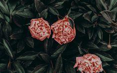 Peonies flowers HD wallpaper
