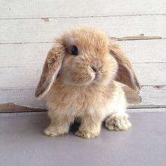 Image de cute, animal, and bunny Cute Baby Bunnies, Baby Animals Super Cute, Cute Little Animals, Cute Funny Animals, Cute Babies, Mini Lop Bunnies, Holland Lop Bunnies, Dwarf Bunnies, Fluffy Animals