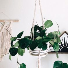 Hoya obovata Hoya Obovata, Home And Garden, Garden Cottage, Houseplants, Plant Hanger, Indoor Plants, Flora, Succulents, Gardening