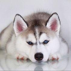 Husky #siberianhusky