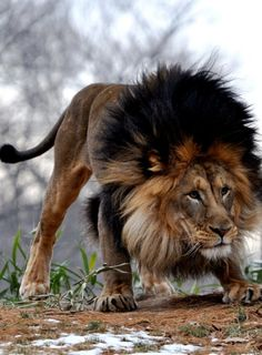 Lion -- isn't it ironic how the king of the jungle is a feline? No wonder cats are so bossy! They are beautiful creatures. I can't imagine coming face to face with one of these and fearing for my life. Beautiful Cats, Animals Beautiful, Simply Beautiful, Beautiful Places, Animals And Pets, Cute Animals, Wild Animals, Baby Animals, Animals Images