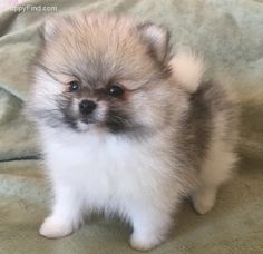 Pomeranian Pictures (qf6f6h8f16l)
