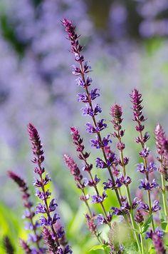 Salvia  Catmint