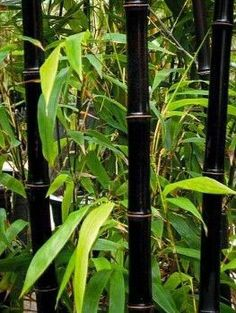 Phyllostachys nigra - Black Bamboo - Large Approx Tall Plants - Pack of Three + - Bamboos and Bamboo Plants - Garden Plants Bamboo Landscape, Bamboo Garden, Home Garden Plants, Landscape Design, Phyllostachys Nigra, Giant Bamboo, Bamboo Tree, Growing Bamboo Indoors, Bamboo Plants For Sale