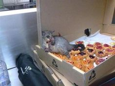Niall Conway    A possum broke into a local bakery and ate so many pastries he couldn't move! This is how the bakery owners found him................. :)   FUNNY,..BUSTED!!!!!!