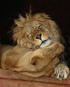 The lions Noel and Mwali, by Kim Olson