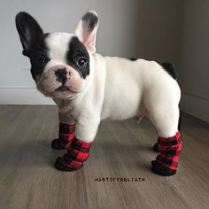 Better wear your socks today Follow @mycutestfrenchie for more Tag your friends by @mastiffgoliath