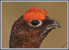 red grouse - Google Search Pheasant Mounts, Zoo Art, Grouse, Falcons, Animals And Pets, Hunting, Wildlife, Crafty, Google Search