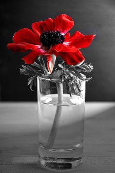 Blood Of Adonis by Anna Wacker on 500px .......Red anemones #selectivecolouring