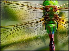 'most colorful dragonfly...' by Katie Barnes. This dragonfly was about 4 inches long.
