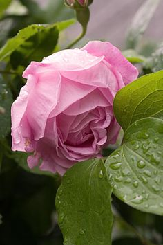 Rosa 'Coup d'Hebe' (France, 1840)
