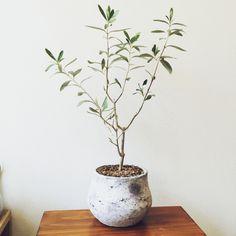 tsunoさんの、観葉植物,NO GREEN NO LIFE,オリーブの木,リビング,のお部屋写真