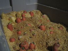 Storing carrots in a root cellar