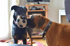 Boxer and Beauceron Boxer, Dogs, Animals, Animales, Animaux, Pet Dogs, Doggies, Animal, Animais