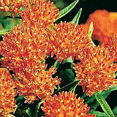Love! Want some around patio! Orange Butterfly Plant -   Attracts butterflies like crazy! Bright orange flowers in early summer are followed by seedpods later on. Excellent for cutting. Naturalizes well; grows 24-36 in. high. Full sun. Bareroot. Zones 4-8. $4.99