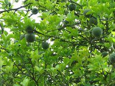 Poncirus trifoliata – citrusachtige, goed winterharde struik (kleine boom op den duur), bloeit wit in april-mei met grote witte bloemen. De vruchten die komen lijken op kleine citroenen/sinaasappels, zijn eerst groen en later geel (eetbaar: sap over salade). De stengels/ takken zijn het hele jaar een olijfkleurig groen van kleur. Dus voor de 'orangerieliefhebber' die geen potten wil gaan sjouwen een aanrader!
