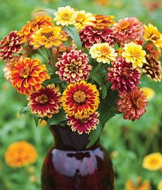 How to Grow Zinnia - Gardening Tips and Advice - start seeds by March 17 indoors.  Zinnias do not like to be transplanted, seed in container that will biodegrade.