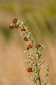 """Ladybugs"" by Frida Westergren"