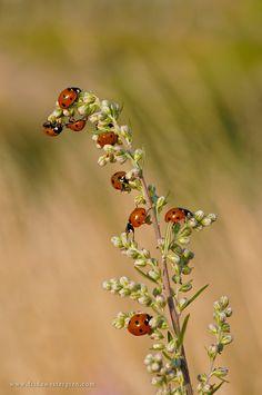 """""""Ladybugs"""" by Frida Westergren"""