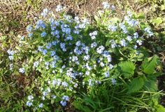 Forget-me-not  growing wild.